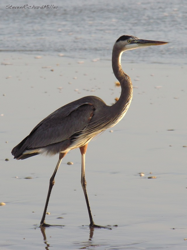 Great Blue Heron, on the beach