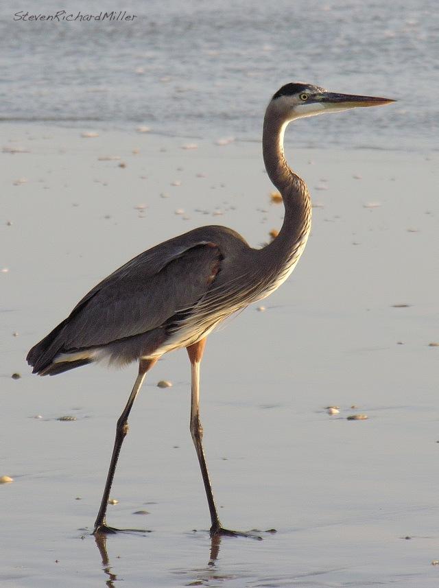 Great Blue Heron, on the beach