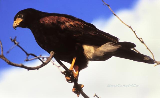 Harris Hawk, Laguna Atascosa NWR, TX