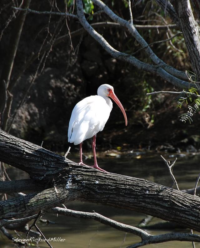 White Ibis, Glady Porter Zoo, Brownsville, TX
