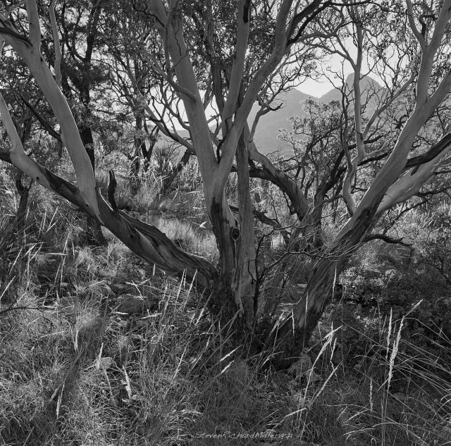 N. McKittrick Canyon, Madrone tree