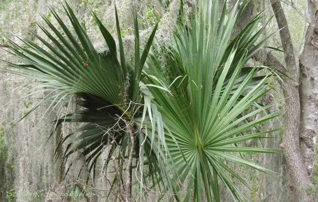 Palms, Santa Ana NWR, TX