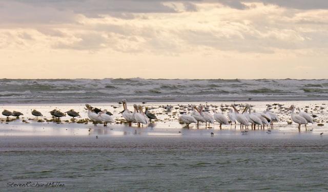 Pelicans52