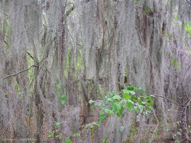 Spanish moss, Santa Ana NWR