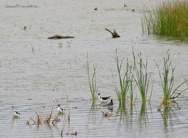 Black-necked Stilts, Santa Ana NWR, TX