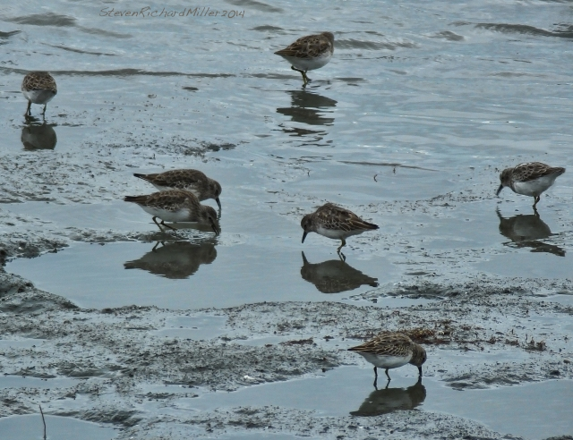 Alameda Least Sandpipers