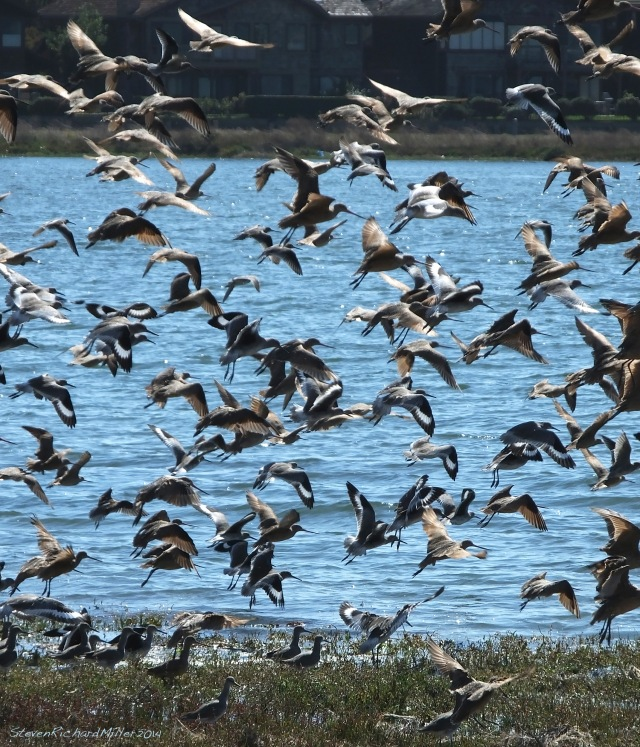 Alameda mixed flock