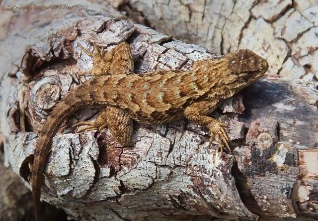 Big Sur lizard