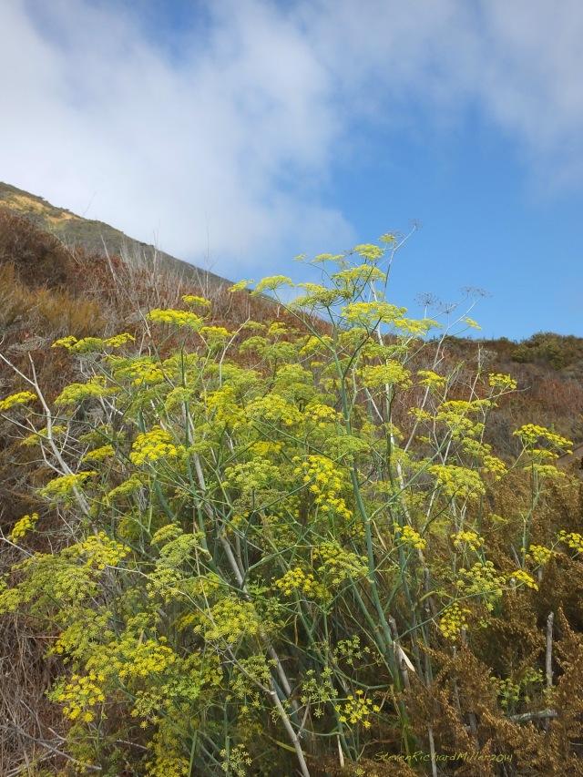 Big Sur Mill Creek fennel