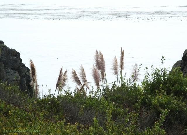 Big Sur Mill Creek pampas grass