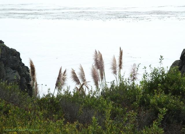 Big Sur Mill Creek pampas grass