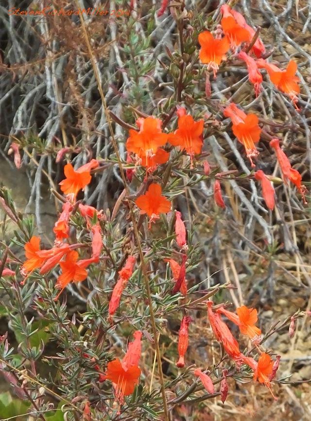 Big Sur Scarlet Gilia