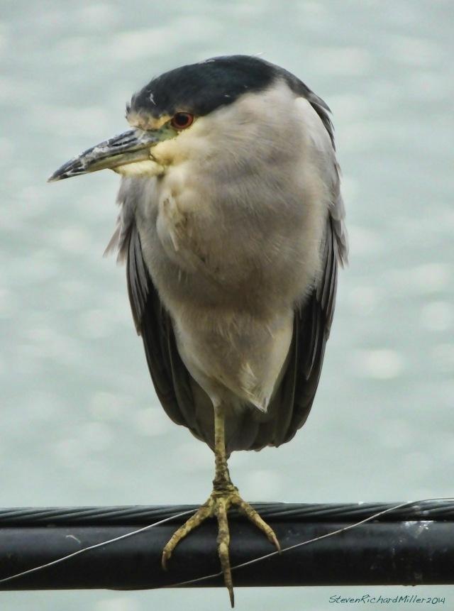BolinasBl.CrownedN.Heron1098