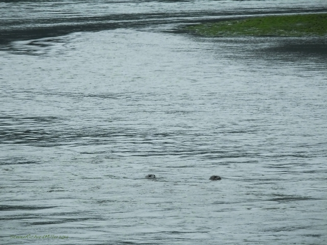 A pair of seals rides the outgoing tide from the lagoon