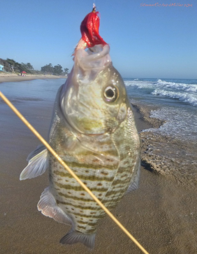 CarpSurfPerch2014Sep14_3159