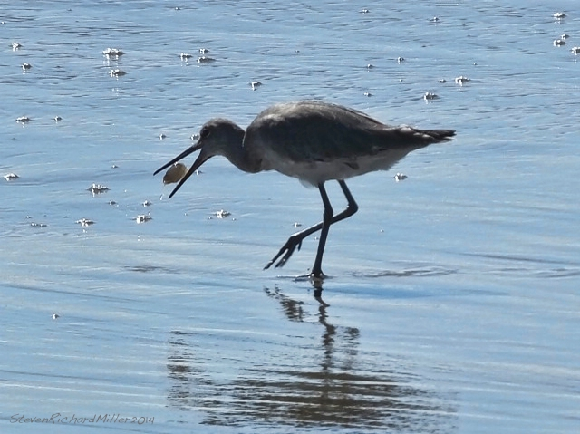 Willet, with large Mole crab