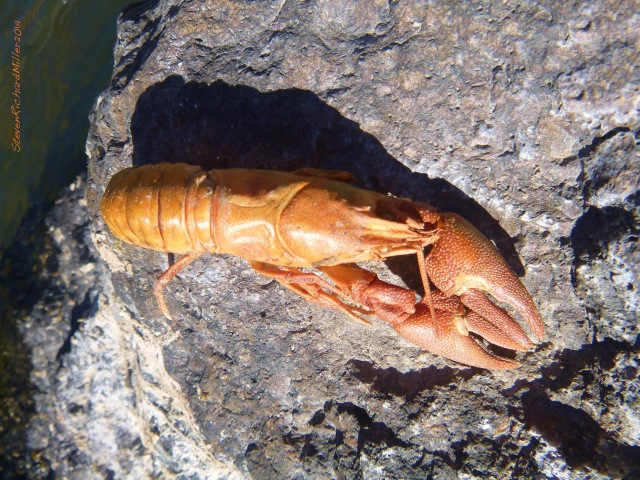 Crawfish exoskeleton, left on a rock. This is what otters do.