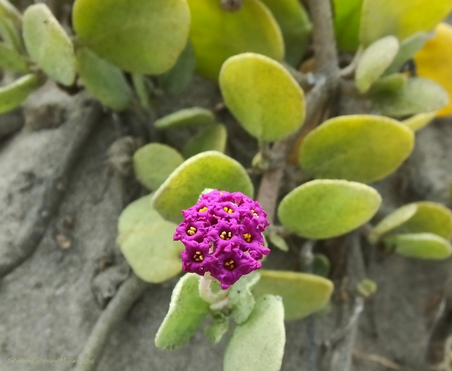 Beach succulent flower, Morro Strand