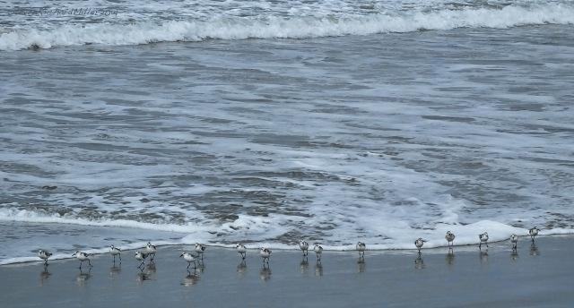 Sanderlings, Morro Strand