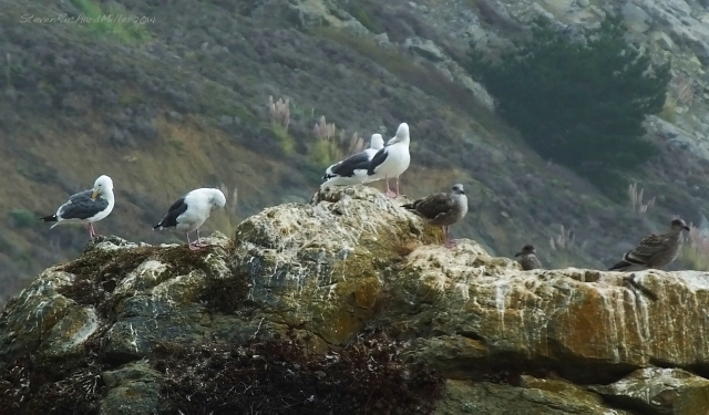 Gulls atop a rock at Muir Beach