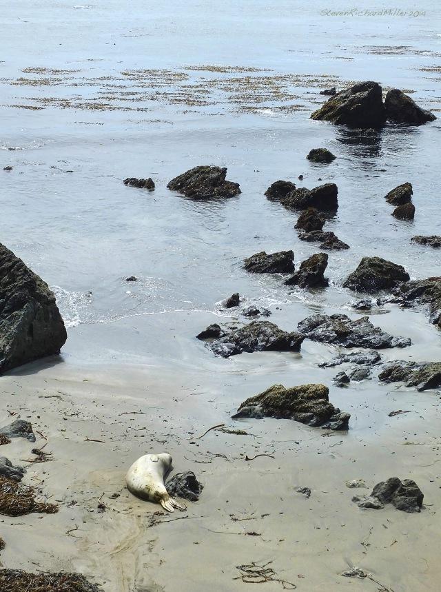 San Simeon Elephant Seals