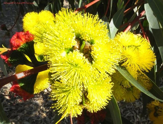 Eucalyptus flower, Simi Valley, CA