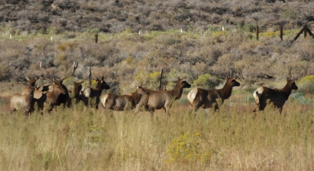 A herd of Tule elk, at a great distance, south of Big Pine