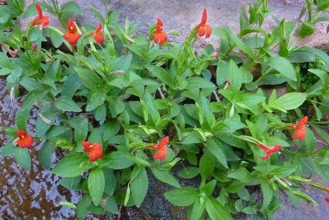 Red monkey-flowers