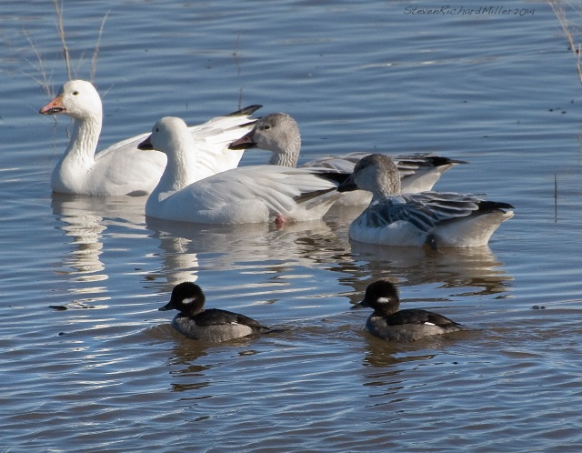 Light geese and a pair of female Buffleheads