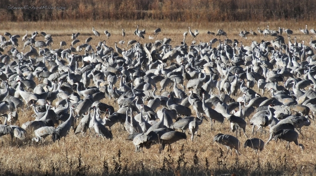 Flock of sandhill cranes feeding on corn or grain grown in the refuge
