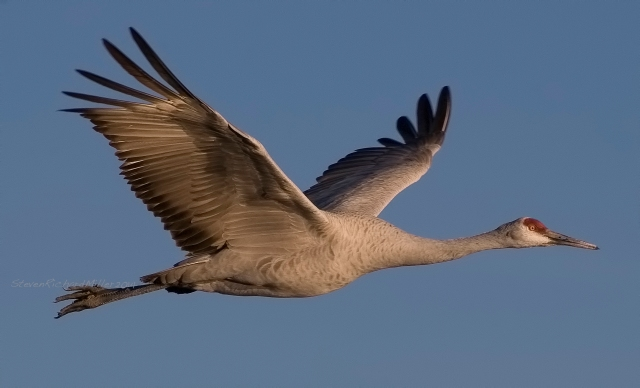 Sandhill crane flies towards the setting sun, as it returns from feeding to roost for the night in the large pond
