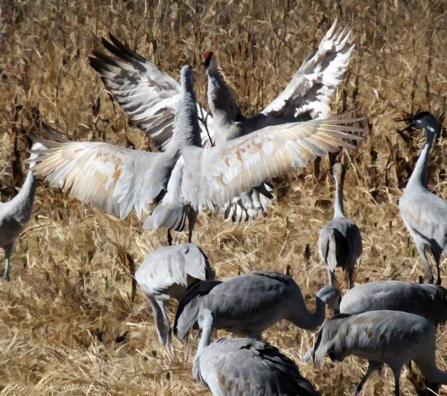 Squabbling cranes
