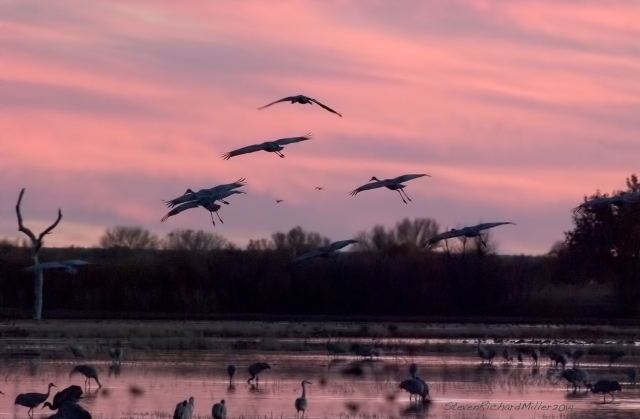 Cranes arrive at sunset