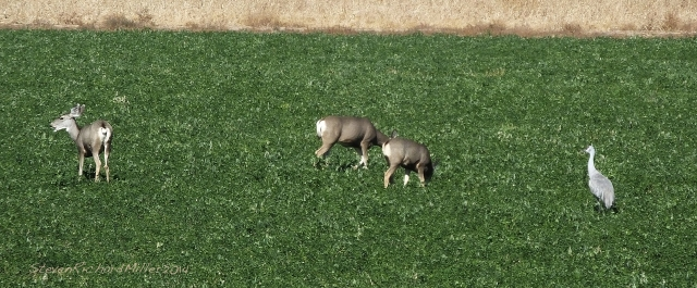 Deer and cranes in the alfalfa