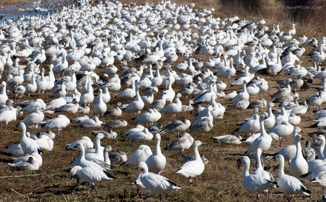 """Light geese"" is a new term for me. It includes two closely-related white geese - Snow geese and Ross's geese, which are hard to distinguish one from the other"