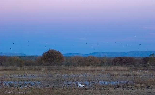 Light goose at sunset