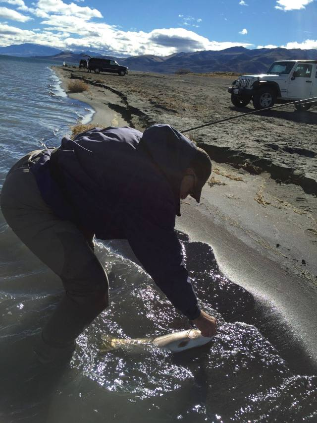 Me. beaching a Lahontan cutthroat, at Monument beach, on our last morning