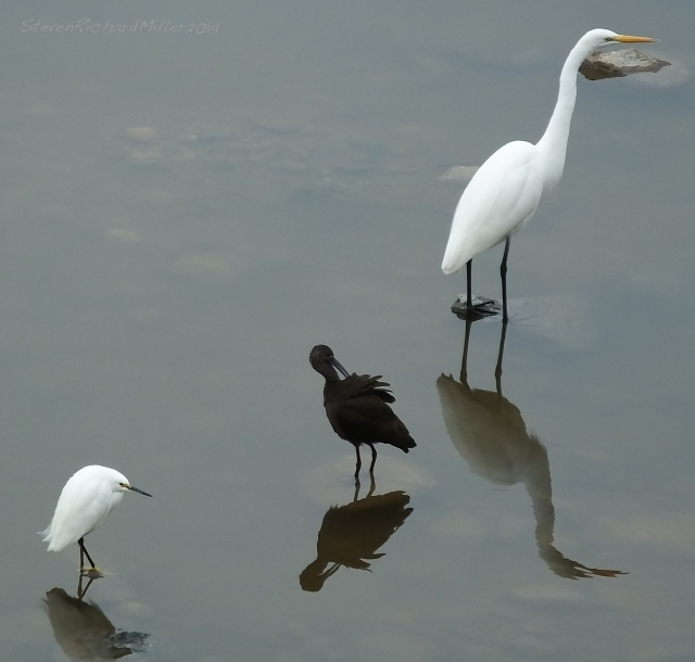 Snowy egret, White-faced ibis and Great egret