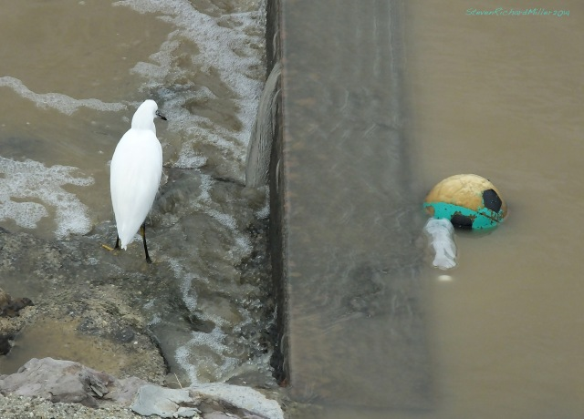 Snowy egret and soccer ball