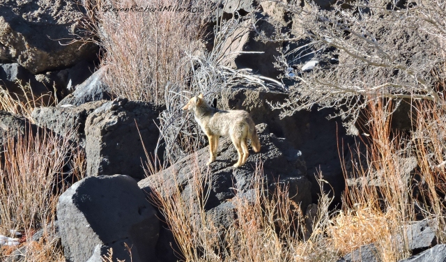 One of a pack of four coyotes, across the river