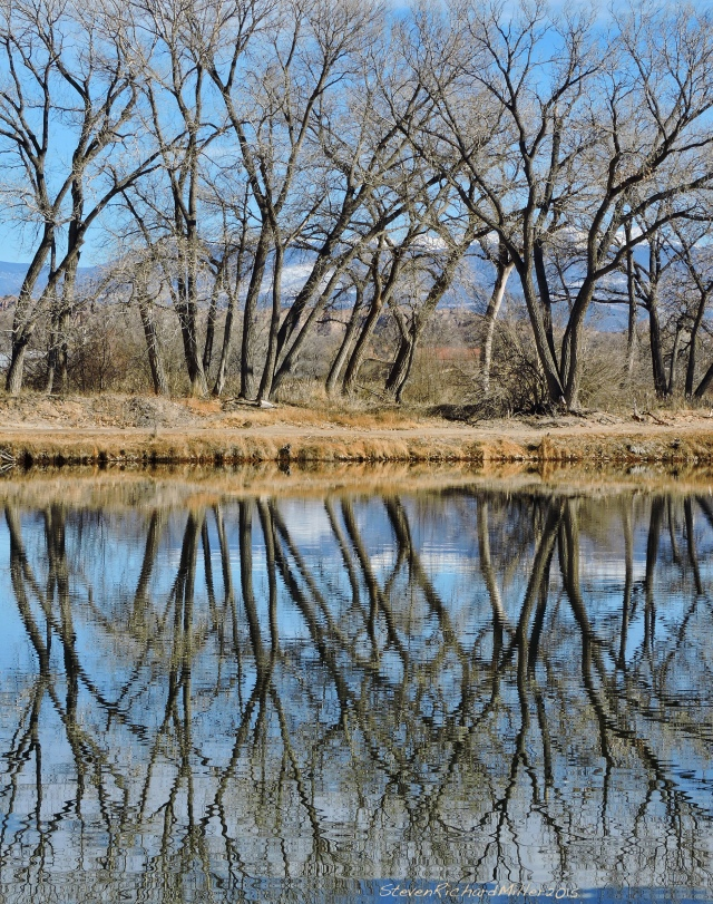Cottonwoods and reflections