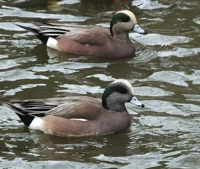 Widgeon males