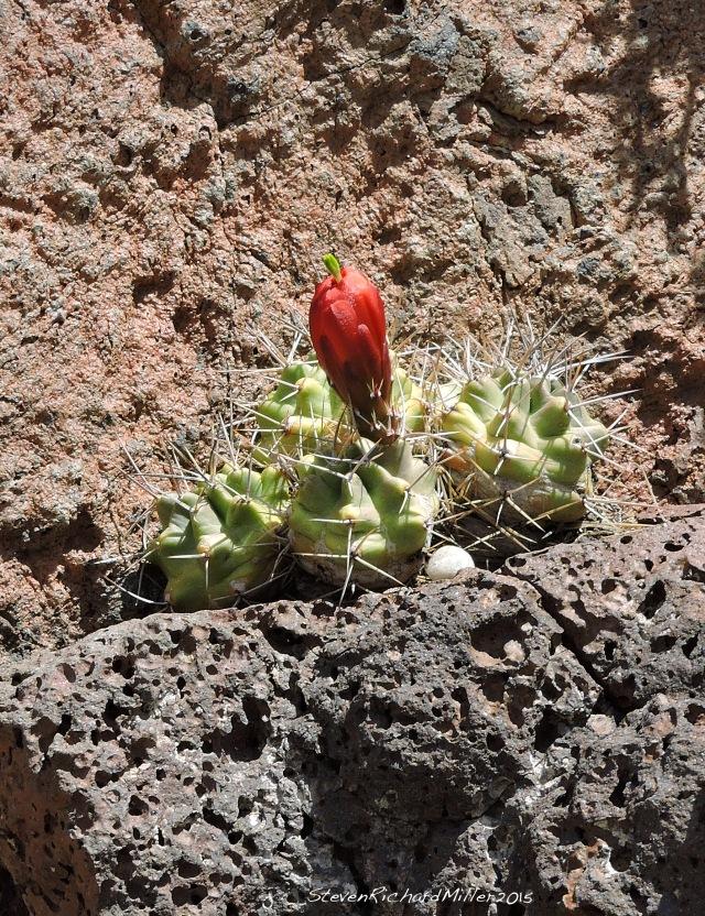 Mound claret cup hedgehog cactus