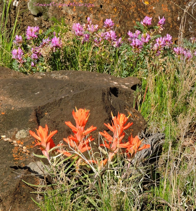 Indian Paintbrush and Sweet Vetch