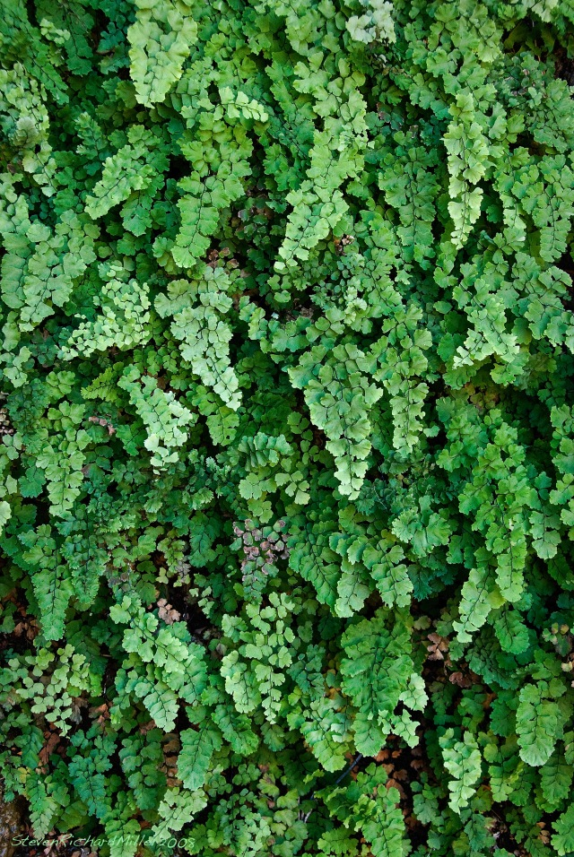 Maidenhair fern, at 130 Mile Canyon