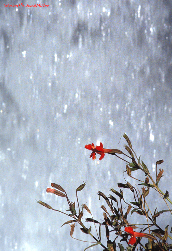 Red monkeyflowers beside Tapeats Creek