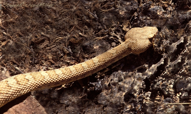A rattlesnake shows the characteristic arrowhead- shaped pit viper head.