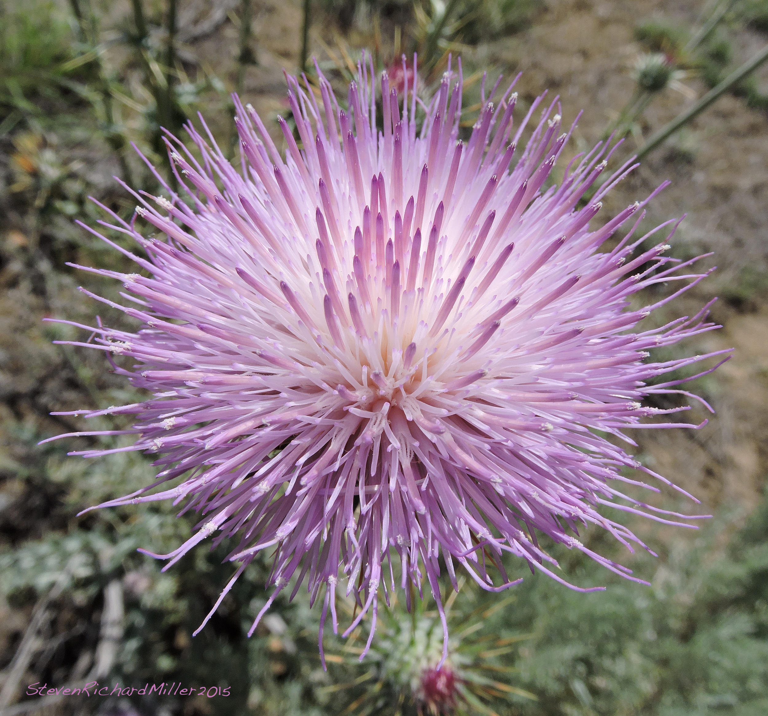 the russian thistle Russian thistle, commonly known as the tumbleweed plant, is a spiny non-native plant categorized as a noxious weed russian thistle is characterized by long, spiny green stems growing in a rounded mound.