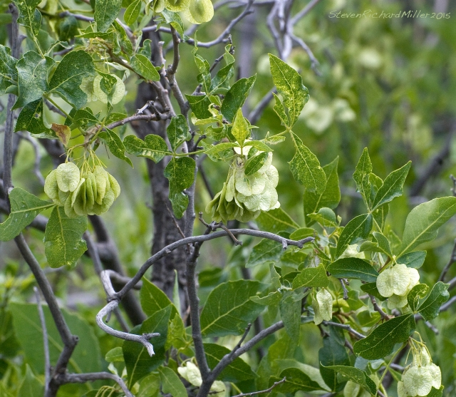 Wafer Ash aka New Mexico Hop tree