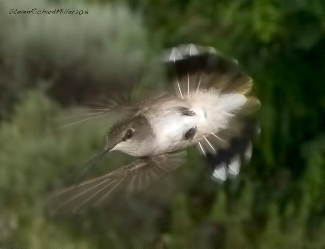 Black-chinned female